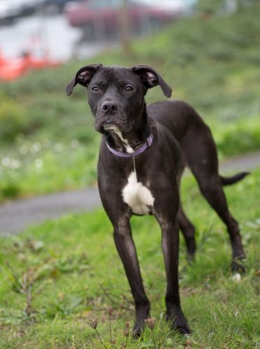 """MAX"" long- legged american shelter dog mix"