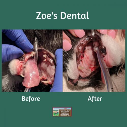 Zoe and the Disappearing Teeth | Winslow Animal Hospital Dog & Cat