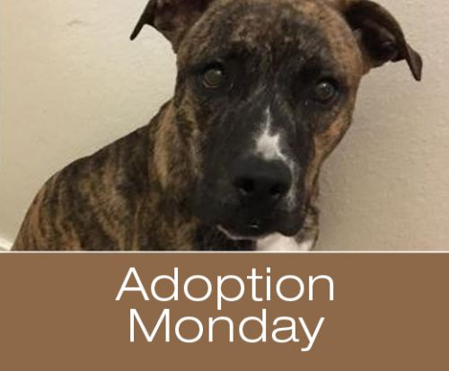 Adoption Monday: Frodo, Pittie, Killeen, TX