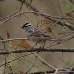 Spring Sparrows are Way Cooler than Spring Warblers