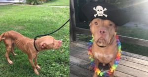 Loveable Pitbull Made Amazing Recovery With Help From You And GreaterGood.org