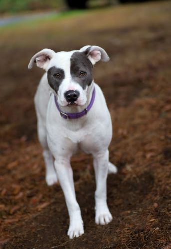 """""""VIOLET"""" petite and pretty white and grey staffie mix"""