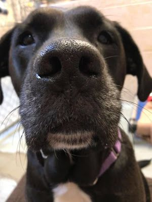 """CHARLIE"" In Foster Home - female Black Lab mix"