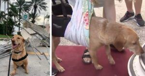 Injured Surfside Collapse Response Dog Thanked With Free Flight Home