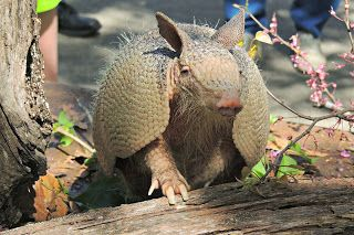 Armadillos in Missouri