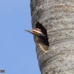 Pileated Woodpecker exchange at the nest