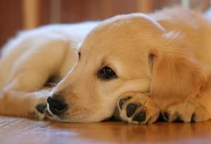 10 Dog Breeds That Are Extra Clingy With Their Owners