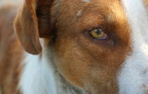 What Causes Red Eye In Dogs?