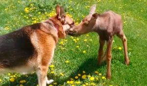 """Dog & Abandoned Baby Moose Become """"Fast Friends"""""""