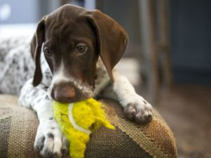Is The Felt, Chemical Glue And Rubber In A Tennis Ball Toxic For Dogs?