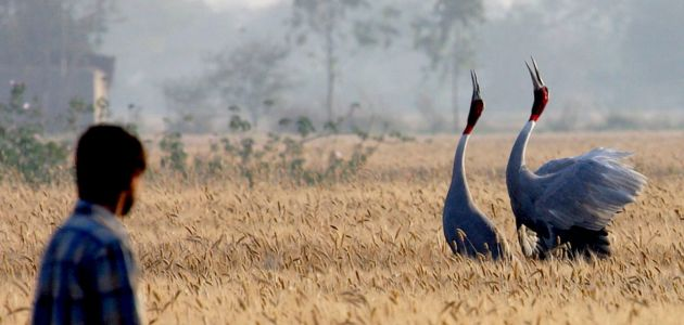 In a Crowded India, Farmers and Sarus Cranes Coexist