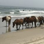 Managing wild horses with PZP