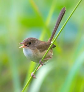 Fairywrens Learn Mother's Calls Before They Hatch