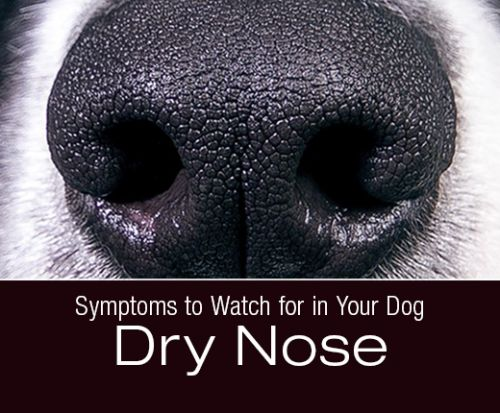 Symptoms to Watch for in Your Dog: Dry Nose