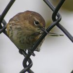 Warblers on a Fence