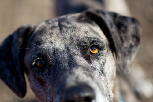 """DAWN"" catahoula mix"