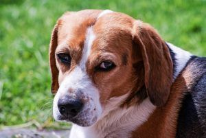 What Are Ear Hematomas In Dogs?