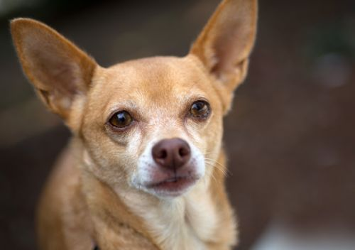 """MARCI"" dainty long legged Chihuahua mix"