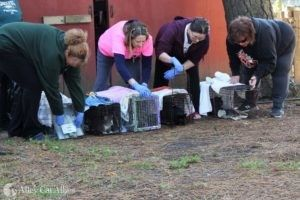 Trap-Neuter-Return Clinic on Chincoteague Island, Virginia, Benefits Community
