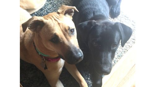 In December we adopted a Blackmouth Cur-mix