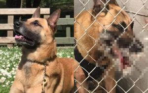 K9 Hero Pierced by Over 200 Porcupine Quills While Chasing Bad Guy