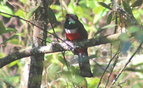 For the Love of Trogons