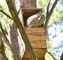 How to find the Ural Owl in Serbia