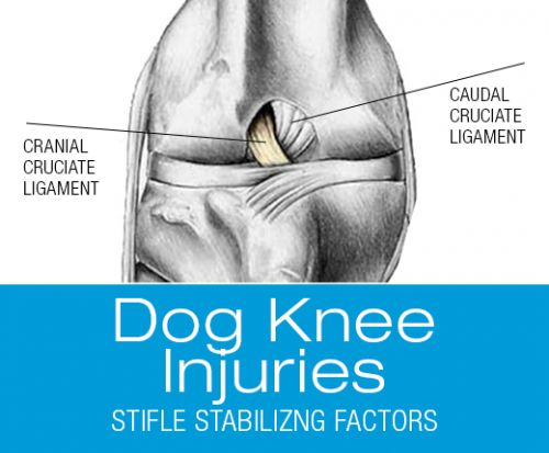 Hanging by a Thread? Stabilizing Forces in the Canine Stiffle