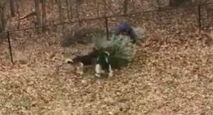Dogs Have Hilarious Reaction When Dad Tosses The Christmas Tree - And It Goes Viral!