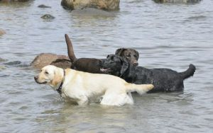 Labrador Retriever Named America's Favorite Breed For 26th Year In A Row