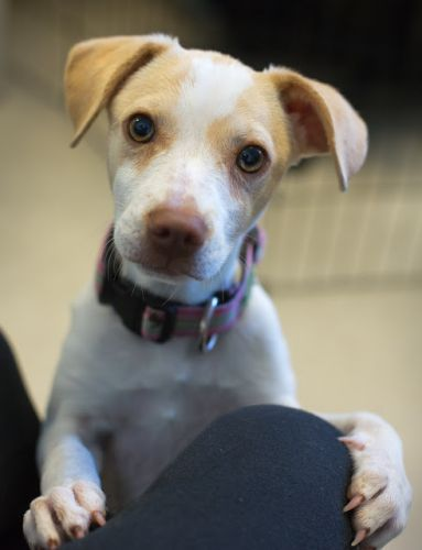 """""""BRITANY SPEARS"""" medium size American shelter mix puppy"""