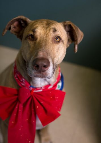 """HERA"" delightful large American Shelter Dog mix"