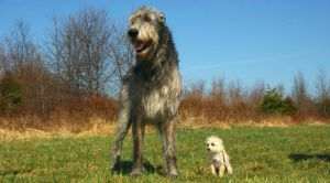 8 Of The Largest Dog Breeds