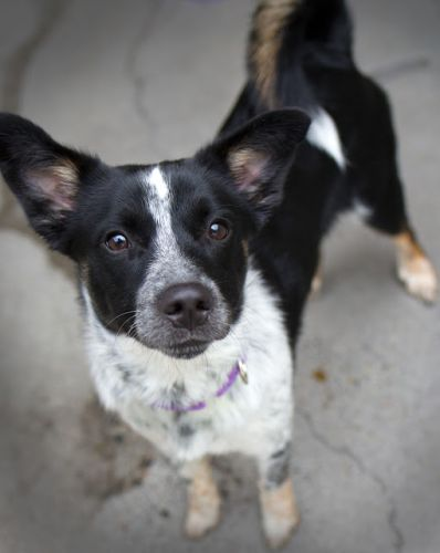"""""""BUSY BEE"""" young Cattle Dog mix"""