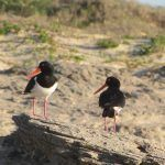 Construction of a Pied Oystercatcher nest
