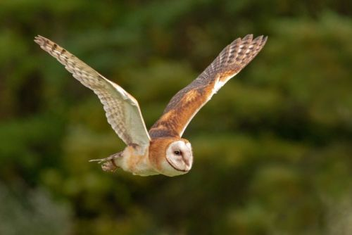Barn Owl Color Variation