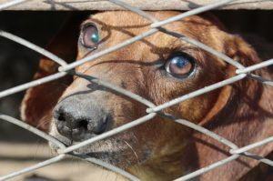 """The Humane Society Releases Annual """"Horrible Hundred"""" Puppy Mill Report - Despite Lack Of Cooperation From USDA"""