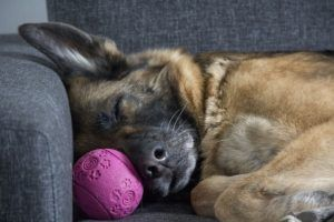 7 Dog Breeds Prone To Serious Tummy Troubles
