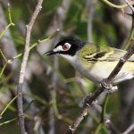 Endangered Species Act: Delisting the Black-capped Vireo?