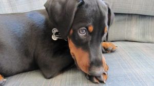 Choosing The Best Joint Supplement for a Doberman