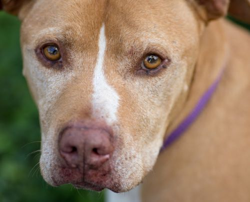 """ELTON"" gentle mellow Pitbull mix"
