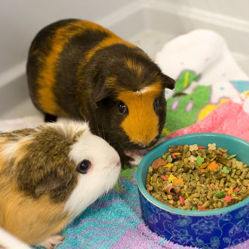 """MITZI"" and ""BITSY"" Bonded Pair- guinea pigs"