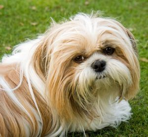 Top 3 Health Concerns For Your Shih Tzu