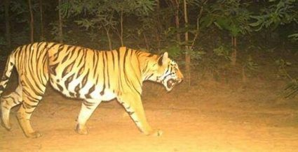 Now, officials use tiger urine to catch K4