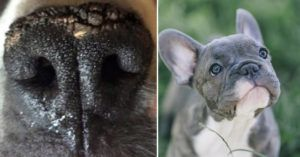 If Your Frenchie's Nose Is Dry & Crusty, It Might Be Nasal Hyperkaratosis. Here's What To Do