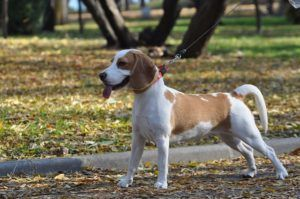 5 Tips To Prevent Your Beagle From Pulling on Leash
