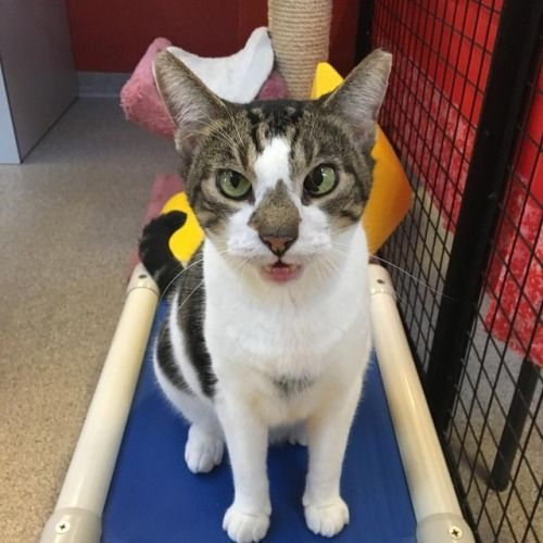 My name is Moonshine and I love to talk! I came to Cat Depot to