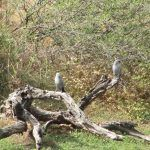 Black-faced Woodswallows in the Kimberley