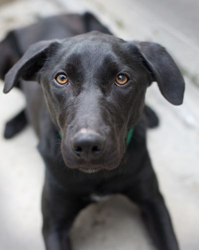 """""""JET"""" smart and eager young Lab mix"""
