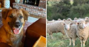 Border Collie Found Herding Sheep Days After Going Missing In A Car Accident